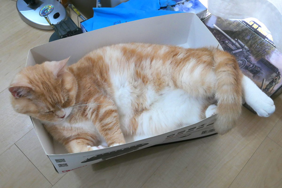 MUNCHKIN ADULT CAT CHAI, SLEEPING IN A BOX, GET VACCINATED JUNE-2021