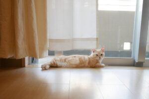 部屋飼い リラックスポーズ マンチカン 子猫