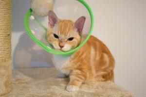 猫を飼い始めました・マンチカン・去勢手術
