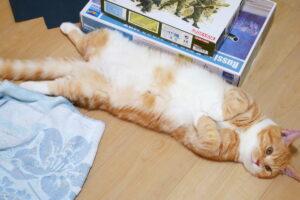 子猫 マンチカン 猫カビ(真菌)、だいたい治ってきました
